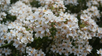 White blossom at The Essex Barn